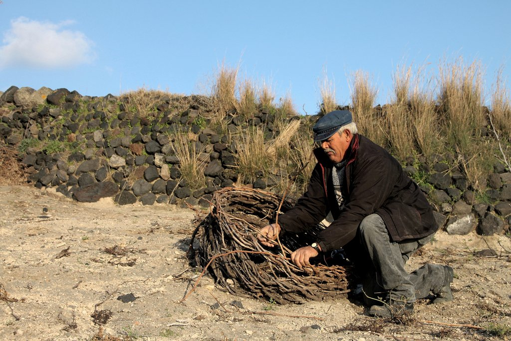 Each vine is twisted in a characteristic basket-shape to protect the vines from the strong winds